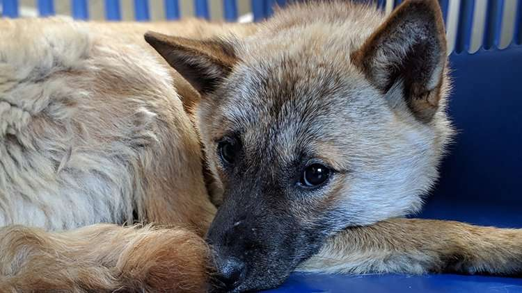 Dog meat trade survivor resting