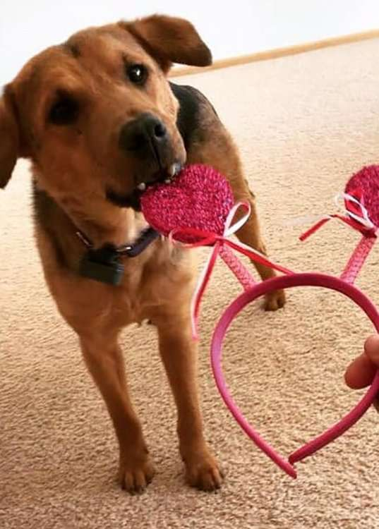 Tucker playing with a Valentine's Day headband