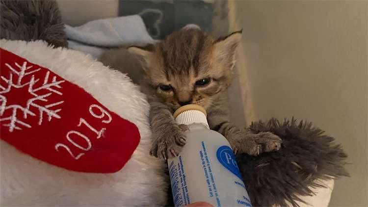 Kitten nursing on a bottle