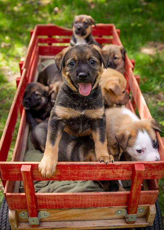 Puppies in a red wagon
