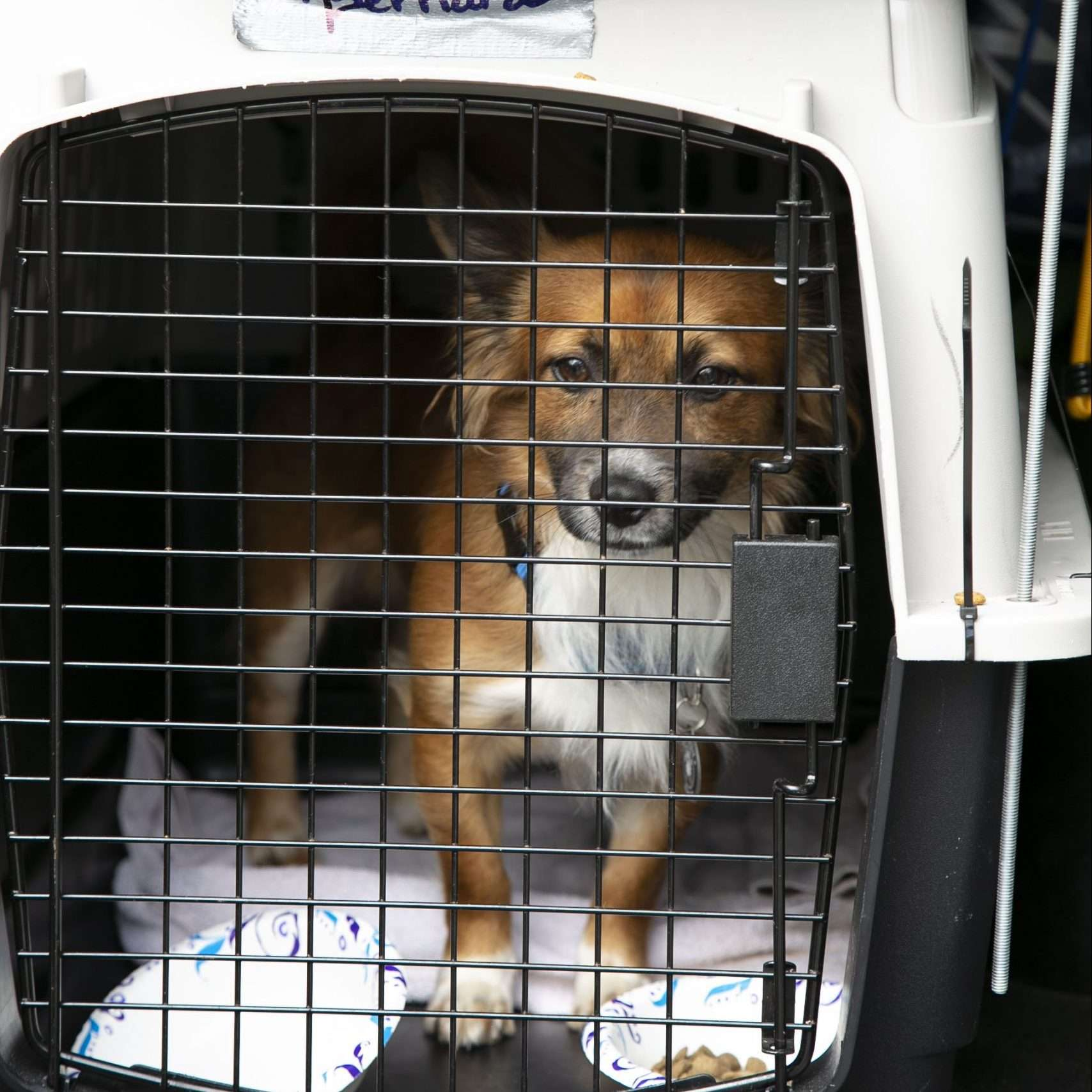 A beautiful tricolor dog looks out from the inside of a plastic crate